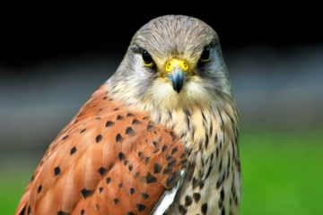 Cornish-Birds-of-Prey-Centre